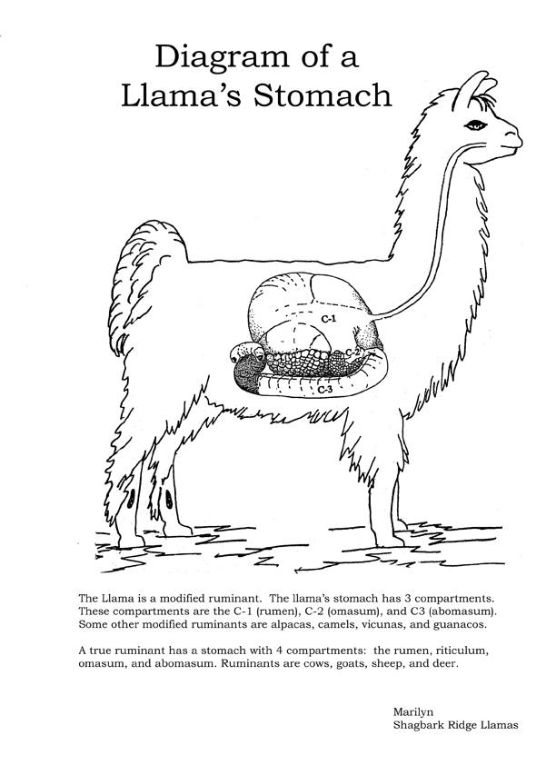 Mycoplasma Haemolama In Camelids