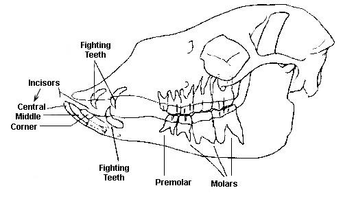 the llama u0026 39 s teeth