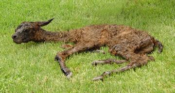 Afbeeldingsresultaat voor sick llama